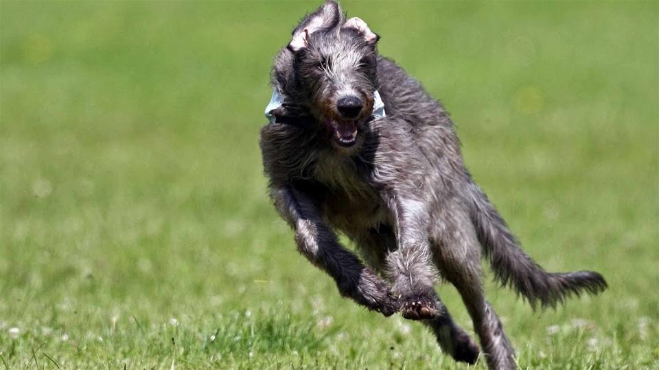 Caine Ogar Scotian in alergare.