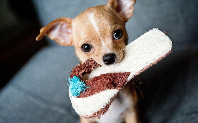 Caine Chihuahua tinand un papuc de jucarie in gura.
