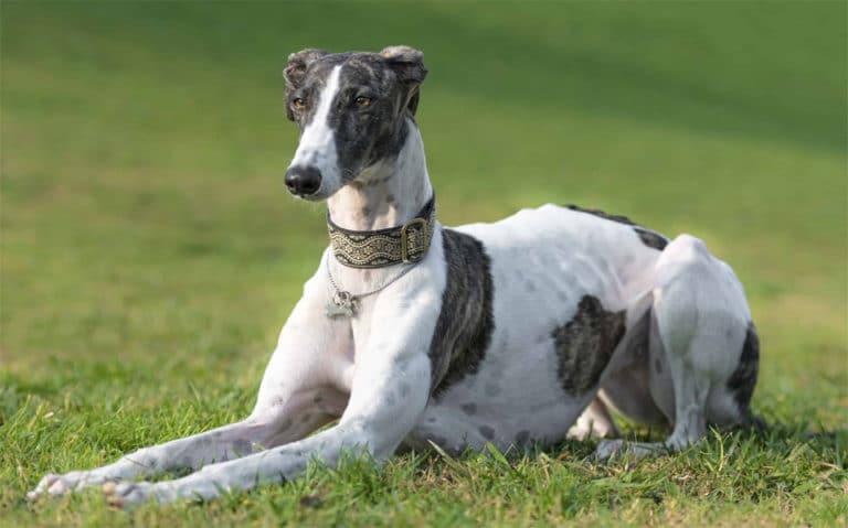Caine Ogar englez (Greyhound) stand in iarba.