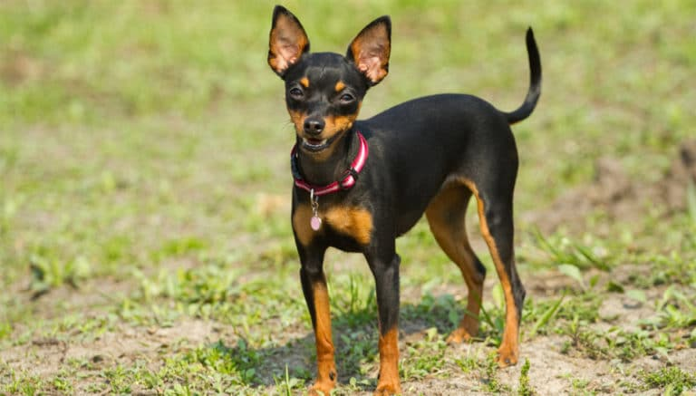 Caine Pinscher pitic stand in iarba.
