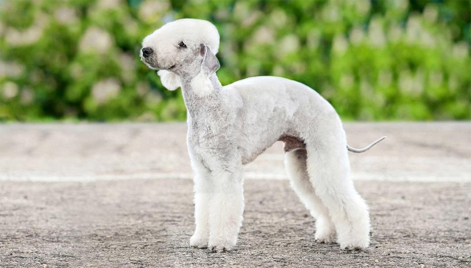 Caine Bedlington Terrier.