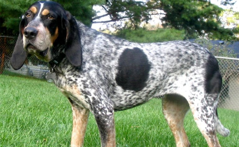 Caine Bluetick Coonhound vazut de aproape.