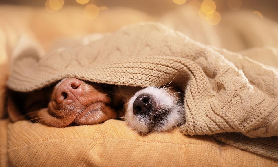 Doi caini dormind sub o patura cu nasurile pe afara.