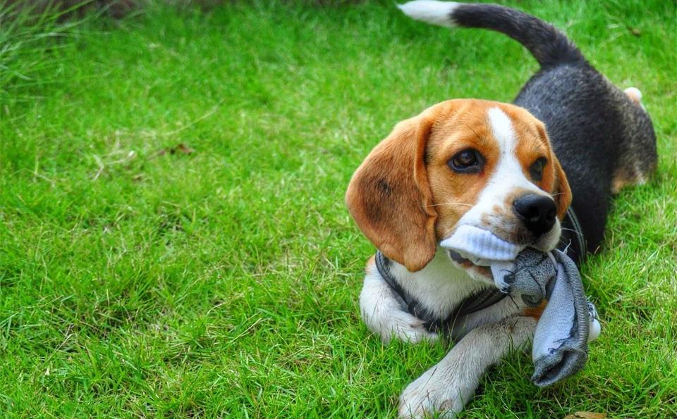 Caine Beagle cu o soseta in gura.