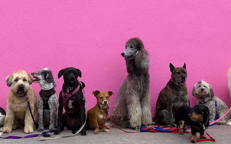 Diferite rase de caini langa un perete roz.