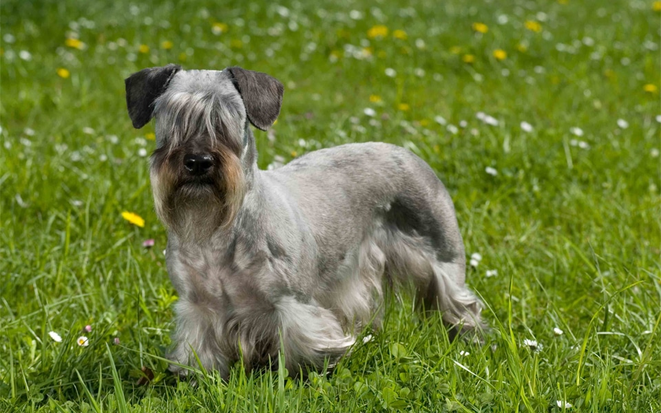 Caine Terrier ceh (Cesky Terrier) stand in iarba.