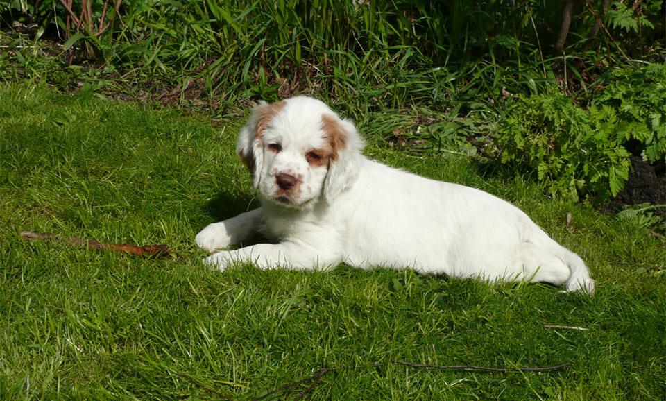 Pui de caine Clumber Spaniel stand culcat in iarba.