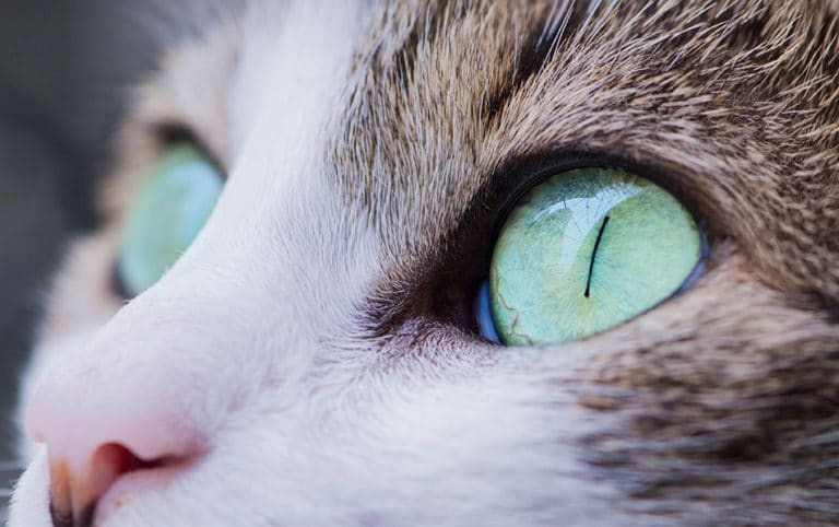 Ochii unei pisici, vazuti de aproape.
