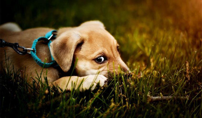 Pui de catel stand in iarba culcat.