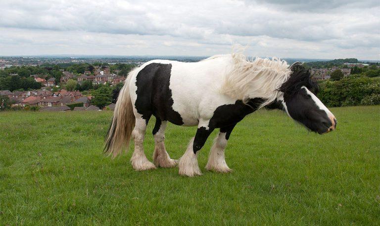Cal alb-negru scutarandu-si capul.