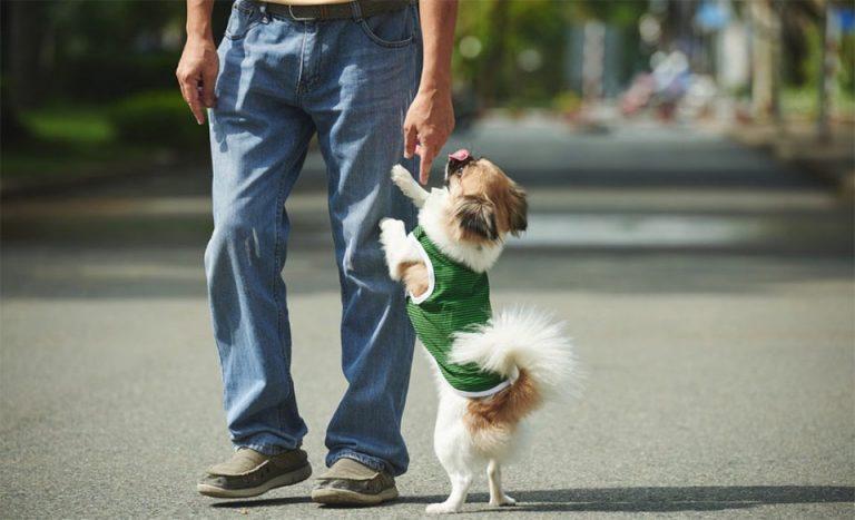 Catel cu haina verde sarind pe piciorul stapanului sau.
