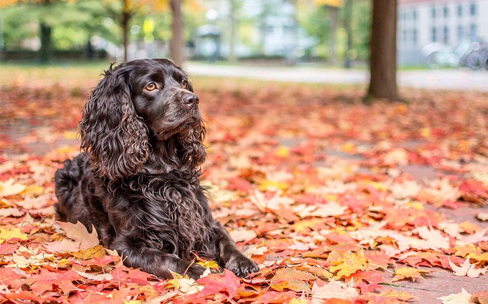 Caine Boykin Spaniel stand culcat pe frunze uscate.