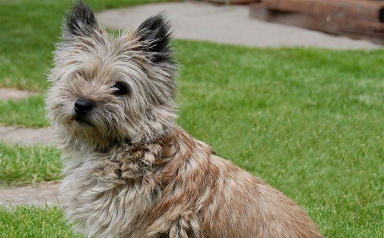 Caine Cairn Terrier vazut de aproape.
