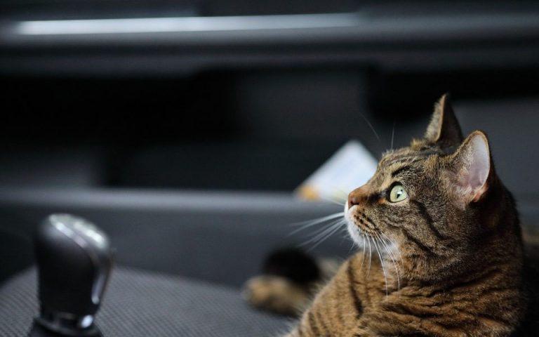 Pisica stand pe scaun intr-o masina.