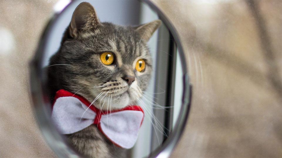 Pisica cu papion reflectata intr-o oglinda.