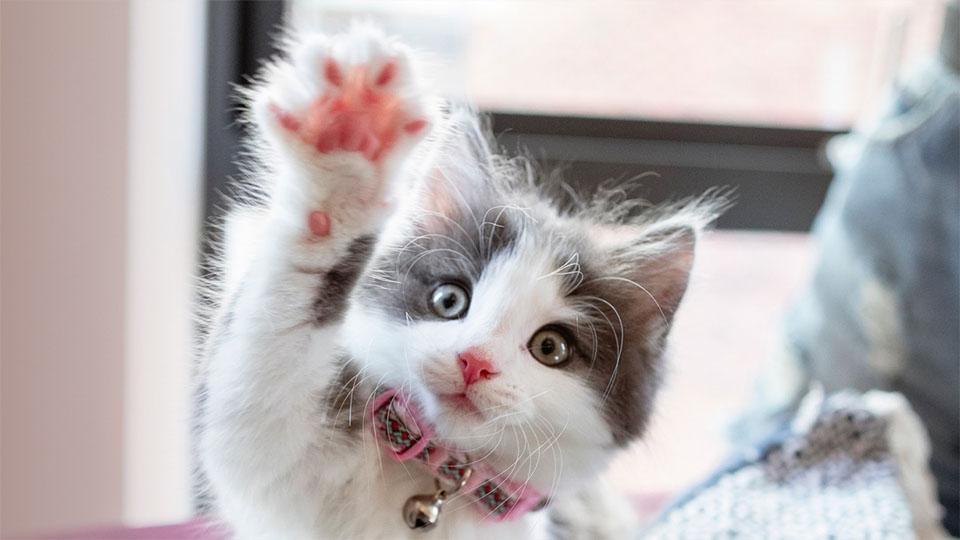 Pui de pisica alb cu gri cu o labuta ridicata.