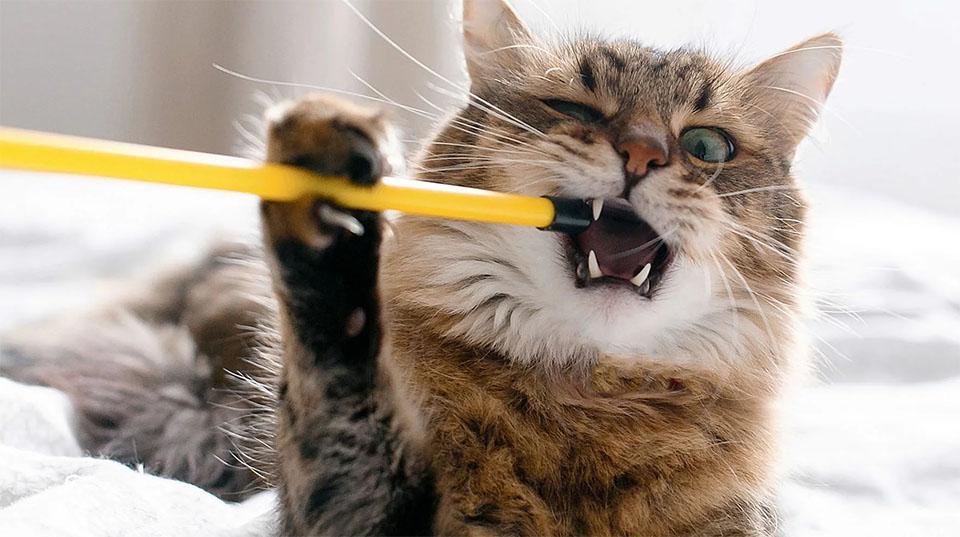 Pisica muscand un bat din plastic.