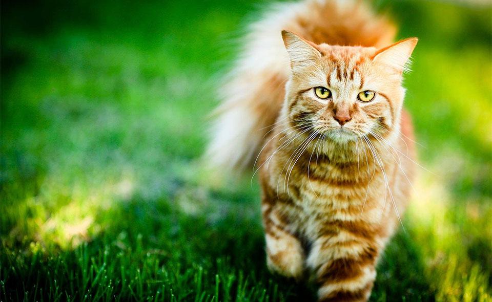 Pisica mergand prin iarba.