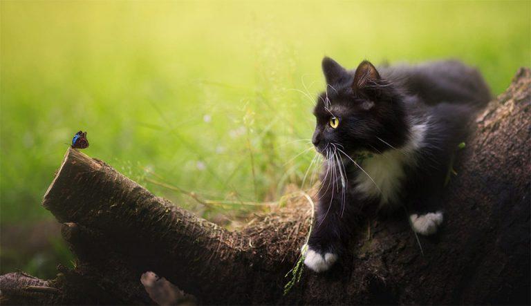 Pisica pe un trunchi de copac uitandu-se la un fluture.