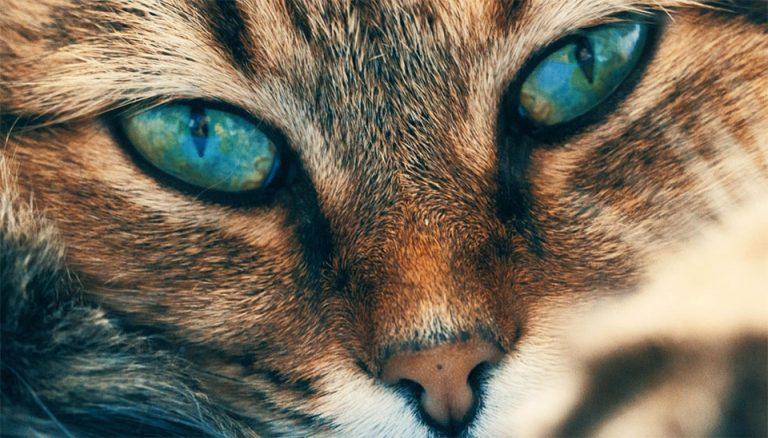 Pisica cu ochi albastri vazuta de aproape.