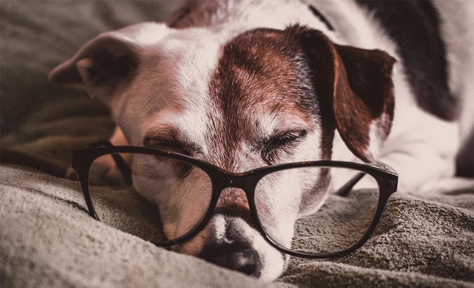 Caine dormind cu ochelari pe bot.
