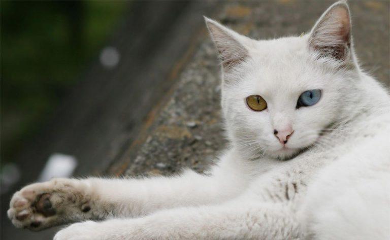Pisica Turkish Angora vazut de aproape.