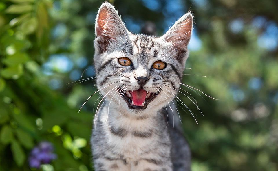 Pisica mieunand vazuta de aproape.