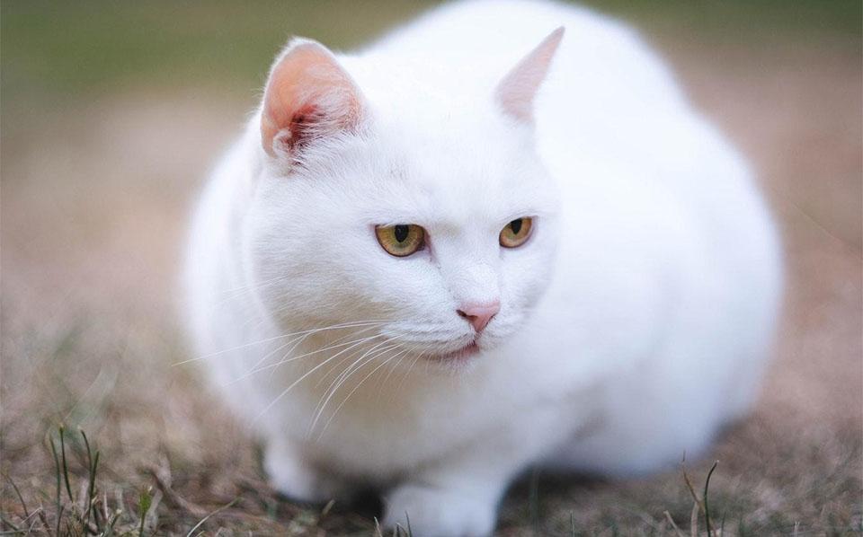 Pisica alba vazuta de aproape.