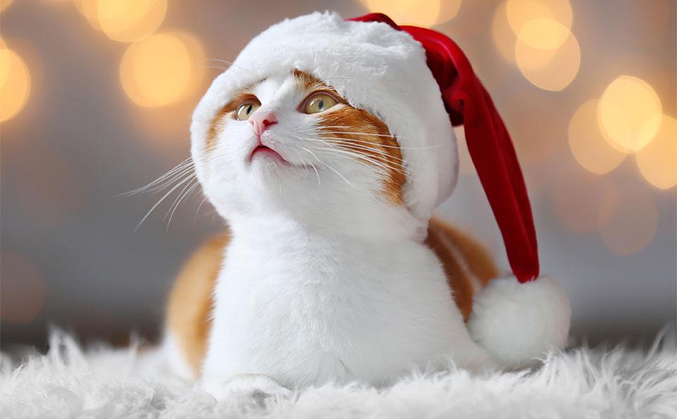 Pisica alb cu portocaliu cu o caciulita de Craciun pe cap.