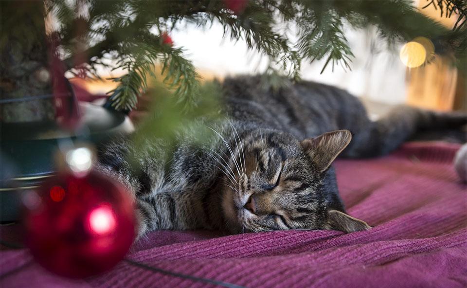 Pisica dormind sub brad.