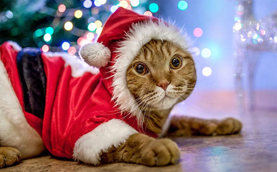 Pisica imbracata intr-un costum de Craciun.