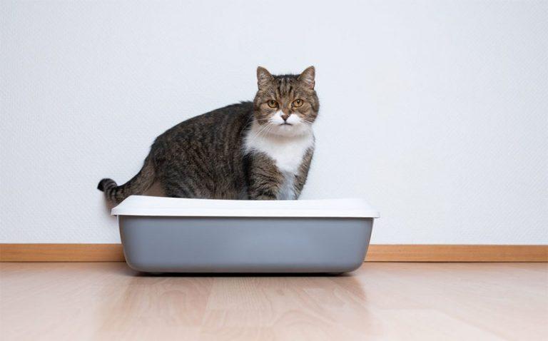 Pisica stand intr-o litiera.