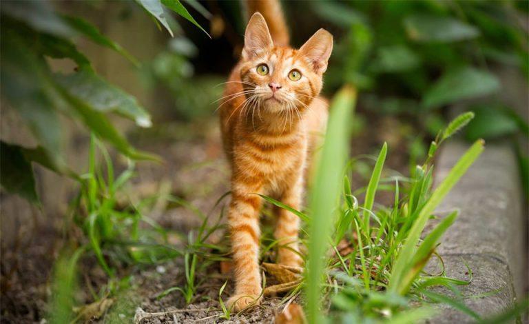 Pisica portocalie in natura.