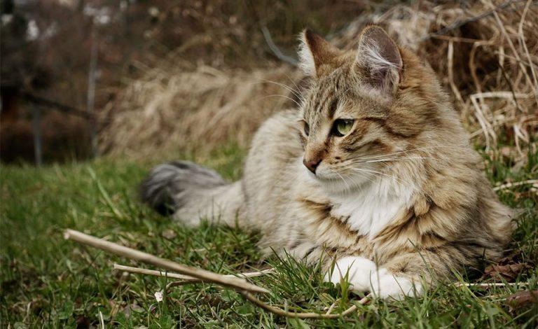 Pisica stand culcata in iarba.