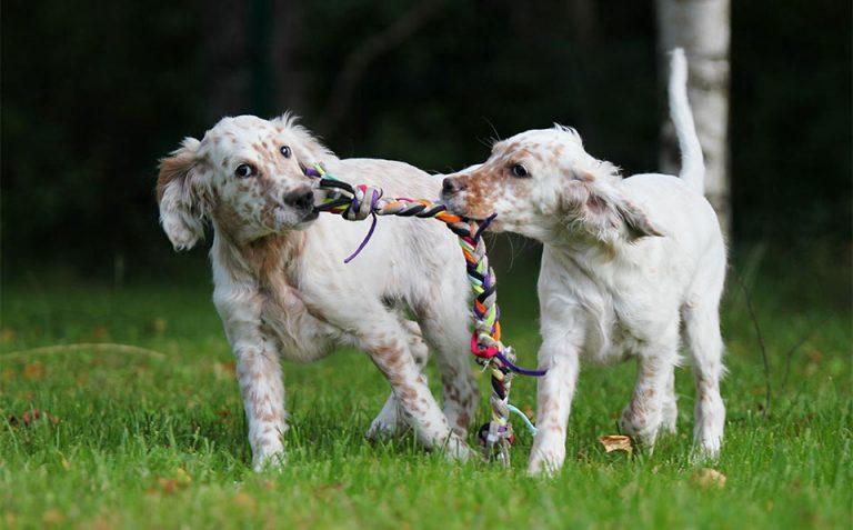 Doi caini jucandu-se cu o jucarie in iarba.