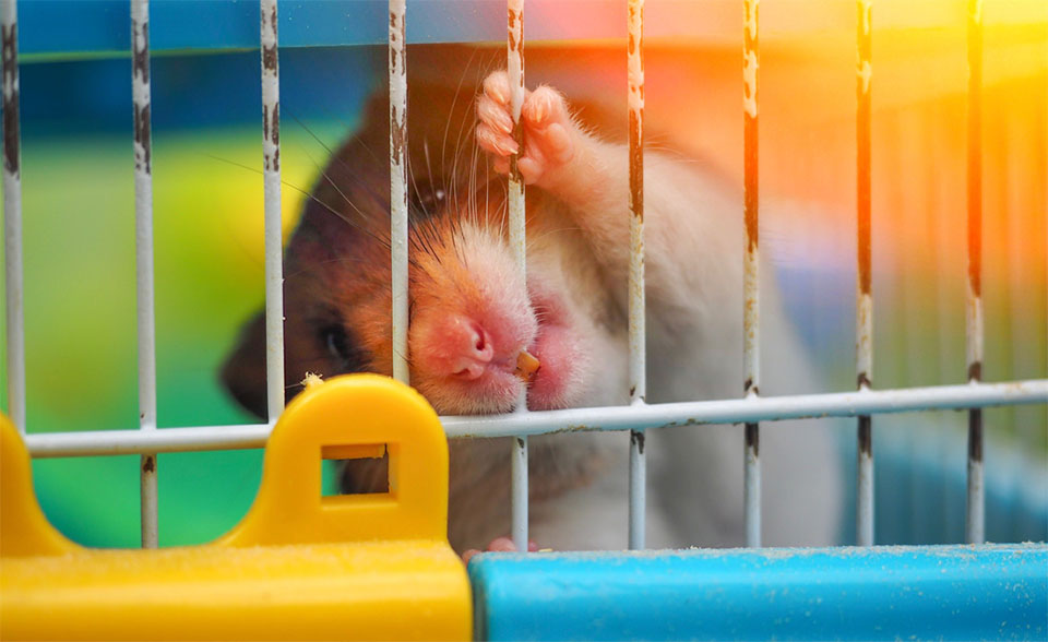 Hamster muscand dintr-o cusca.