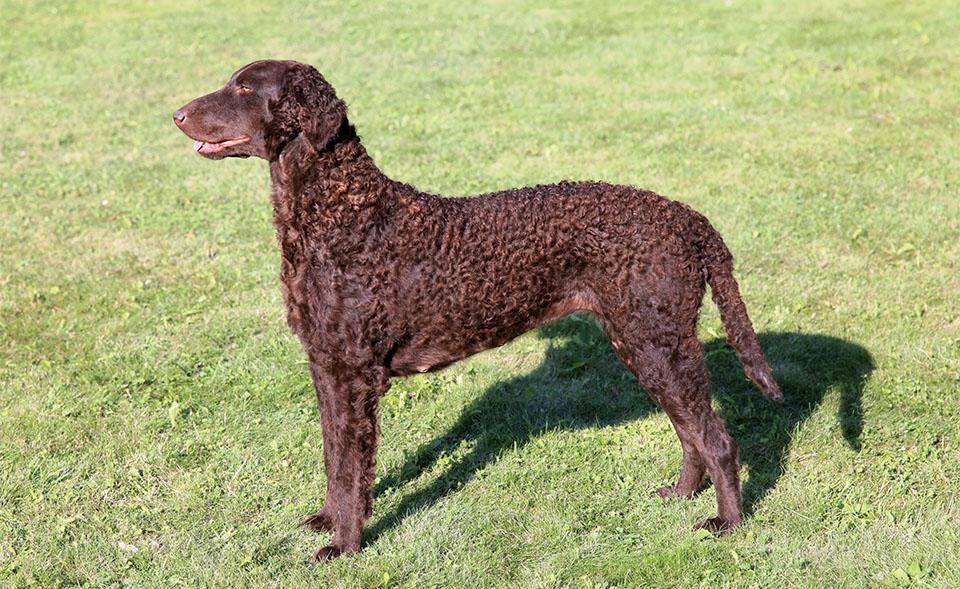 Caine Curly-Coated Retriever (Retrieverul cu blană cârlionțată) stand in iarba.