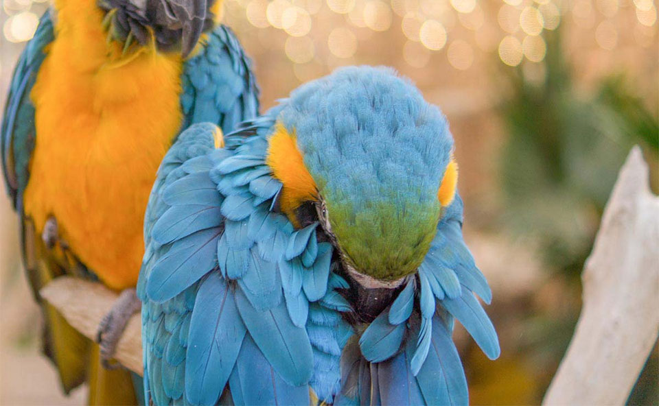 Papagal albastru in prim plan aranjandu-si penele.