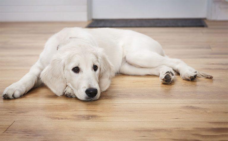 Caine culcat pe podea.