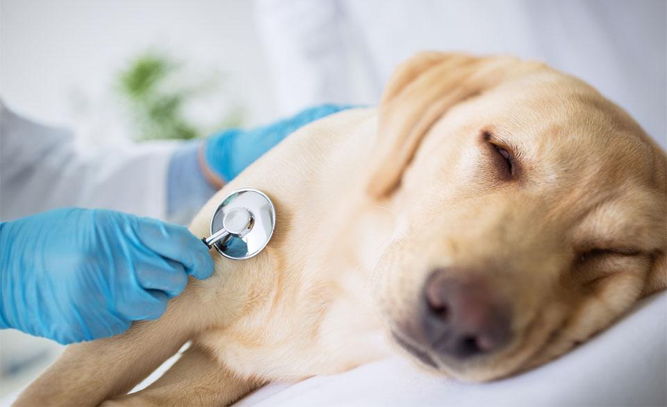 Caine ascultat cu un stetoscop de veterinar.