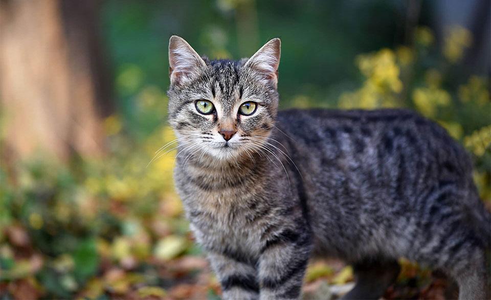 Pisica tigrata vazuta de aproape.