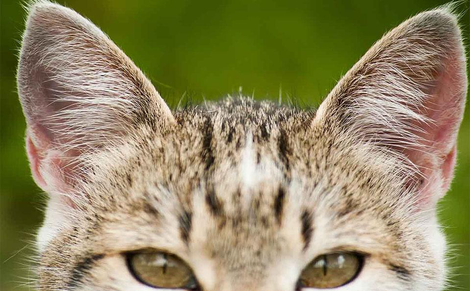 Urechile unei pisici vazute de aproape.