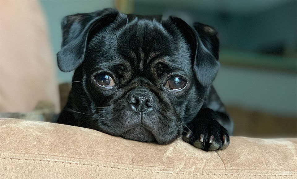 Catel negru stand cu capul pe marginea unei canapele.