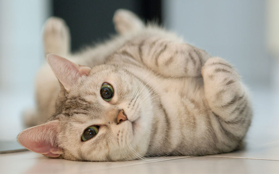 Pisica tigrata stand culcata pe spate.