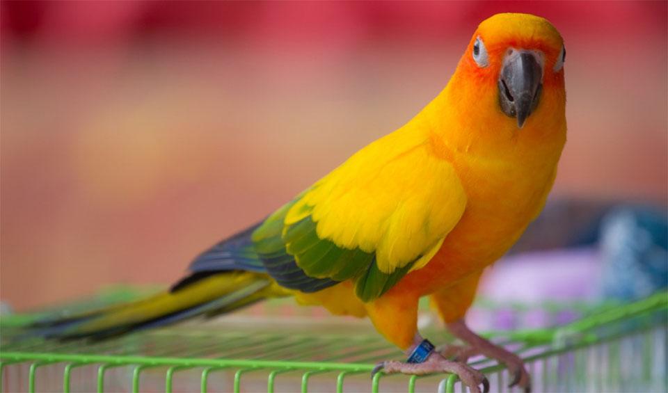 Papagal Conure stand pe o cusca.