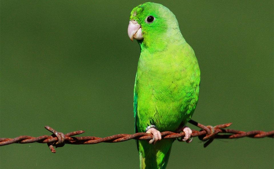"Papagal ""Parrotlet"" stand pe o sarma ghimpata."