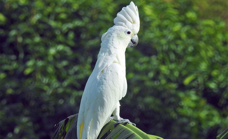 Papagal umbrelat (Cacatua alba) stand pe o frunza.