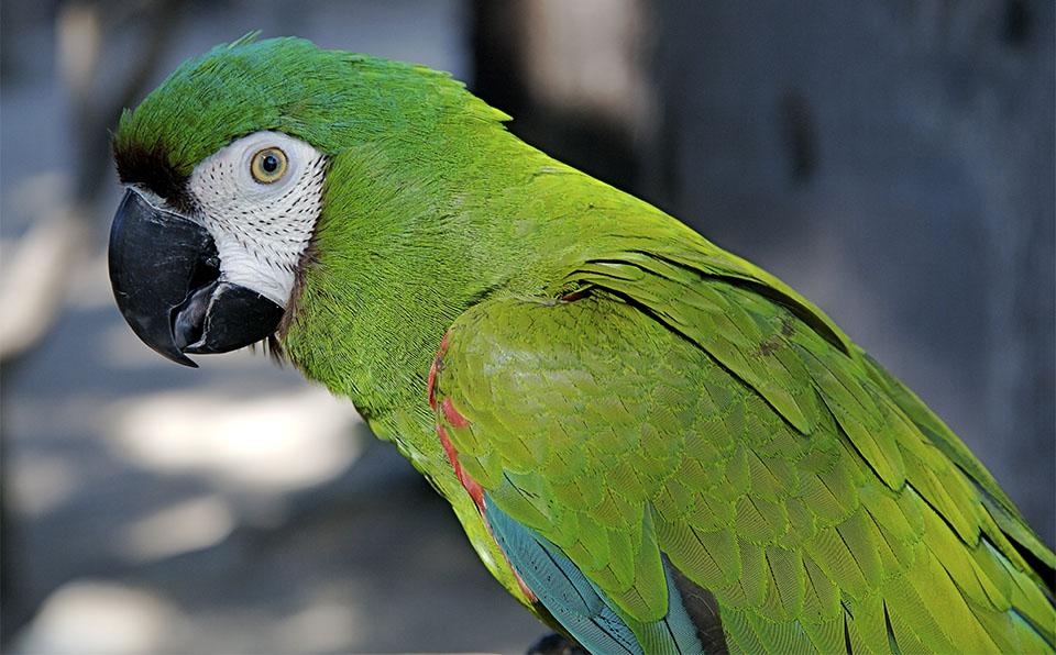 Papagal Ara Auster vazut de aproape.