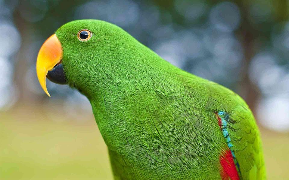 Papagal Eclectus vazut de aproape.