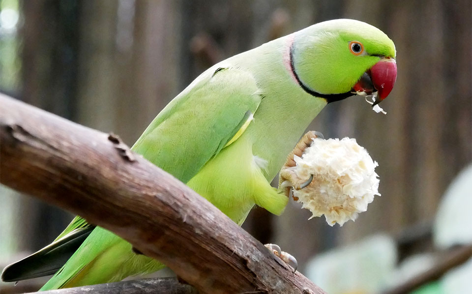 Papagal Indian Ringneck mancand dintr-un cotor de porumb.